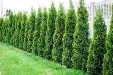 Thuja, row of trees in the garden Wall mural
