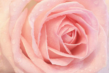 Close up of a pink rose