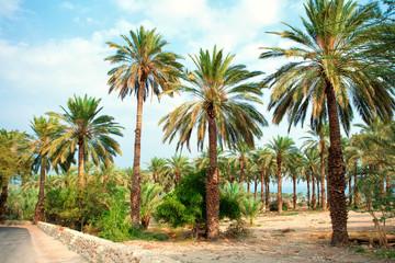 Date palm plantation near Dead Sea in Ein Gedi in Israel