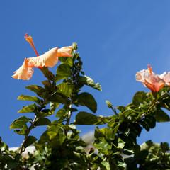 Fototapeta hibiscus obraz
