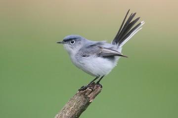 Fotoväggar - Blue-gray Gnatcatcher