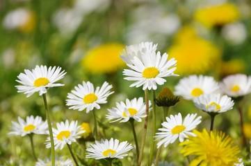 Loewenzahn und Gaensebluemchen - dandelion  and daisy 06