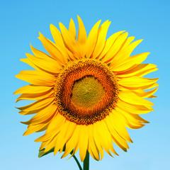 Sunflower on a background of blue sky.