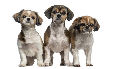 Group of Shih Tzu (3 years old)