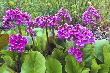 Purple springtime garden flowers Bergenia cordifolia.