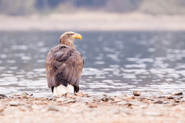 Sea eagle bird