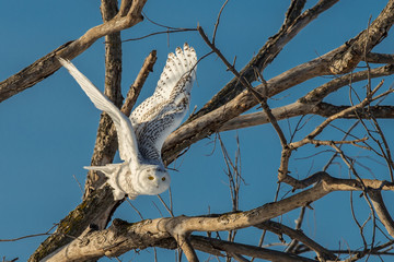 Fotoväggar - Snowy Owl - Flying Out of Tree