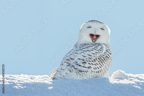 Wall mural Snowy Owl - Yawning / Smiling in Snow
