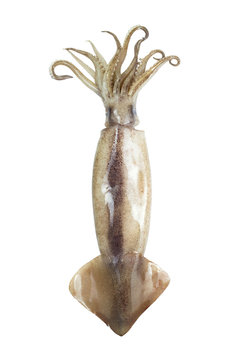 Image of squid isolated