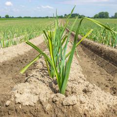 junge Zwiebeln auf dem Feld in der Landwirtschaft