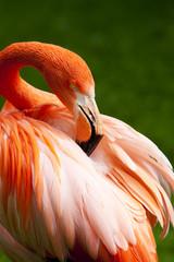 Kuba Flamingo tuurt in zijn veren