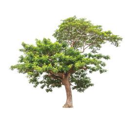 Rain tree (Albizia saman), tropical tree in Thailand