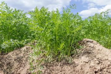 Mohrrüben wachsen auf dem Feld in der Landwirtschaft