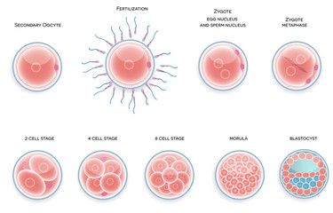 Fertilised cell development. Stages from fertilization till moru