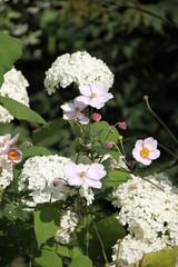 Hortensie und Anemone im Garten