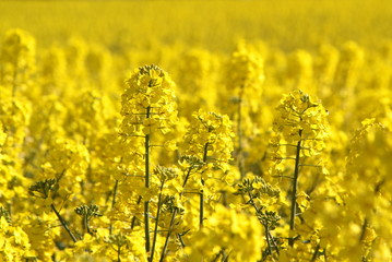 Canola fields or Rapeseed plant,close up image
