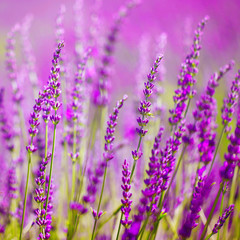 Colorful lavender flower