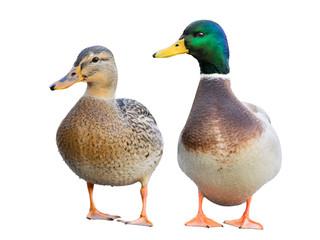 Pair of Mallard Ducks isolated on white. Wall mural