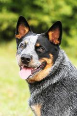 portrait of a australian cattle dog