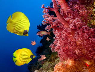 Poster Under water Coral reef and Masked Butterfly Fish