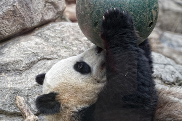 giant panda while playing with a ball