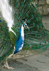 Colorful peacock standing with nice open tail