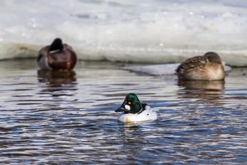 Fotoväggar - Common Goldeneye Duck - Male