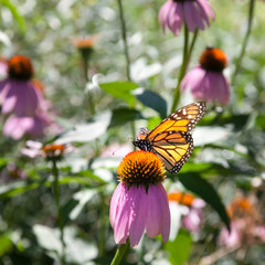 Butterfly hovering on Echinacea flower, Tobermory, Ontario, Cana