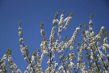 Blühende Zweige der Schlehe ragen in blauen Himmel