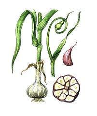 Fruits and leaves of garlic. Botany