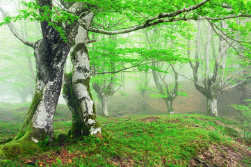 Wall Mural - forest with fog in spring
