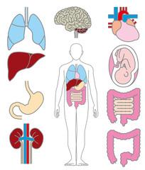 人体の内臓