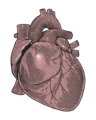 Human heart in vintage engraving style