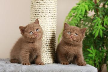 Zwei britisch Kurzhaar Kätzchen neben Kratzbaum