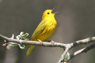 Fotoväggar - Yellow Warbler (Dendroica petechia) Singing