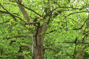 Erlenbaum im Frühling mit rissiger Rinde