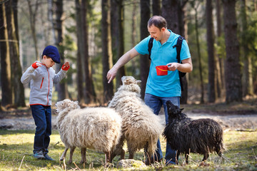 Father and his son feeding group of sheeps