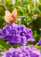 Purple Hortensia flowers and butterfly .
