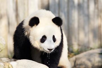Giant Panda Drinking Water, Chengdu, China
