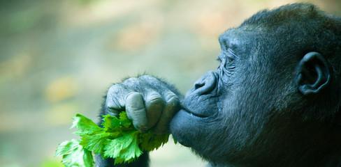 Gorilla Closeup