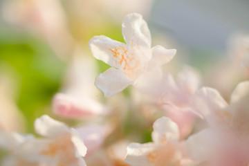 Weigela Pink flowers