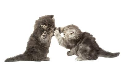 fluffy little kittens played
