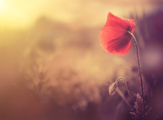 Foto op Canvas Poppy wild poppy flower