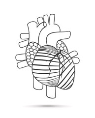 Heart anatomy. Vector.