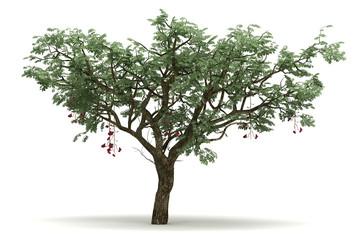 Single Ucla Tree