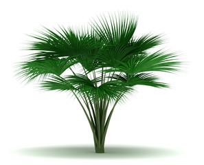 Single Sea Coconut Tree