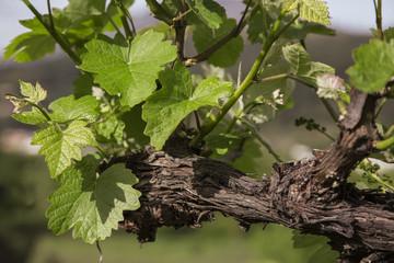 Photos illustrations et vid os de pieds de vigne - Planter un pied de vigne ...