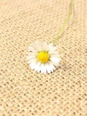 Fresh daisy lying on jute canvas