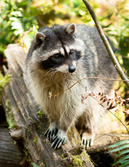 Wild Animal Raccoon Foraging Fallen Logs Nature Wildlife Coon