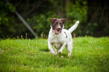Mischlingshund rennt